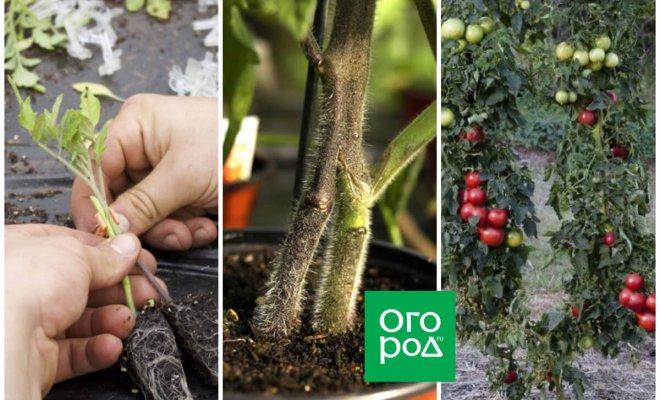 privivka-tomatov-ili-vyrashhivanie-pomidorov-na-2-kornjah-d4292d0.jpg