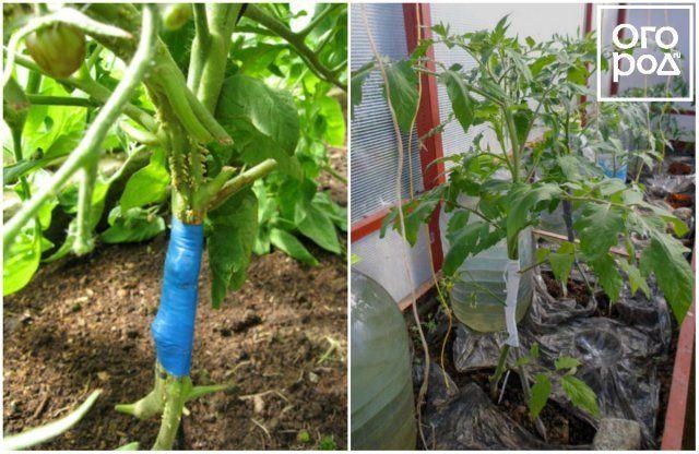 privivka-tomatov-ili-vyrashhivanie-pomidorov-na-2-kornjah-f9c1027.jpg