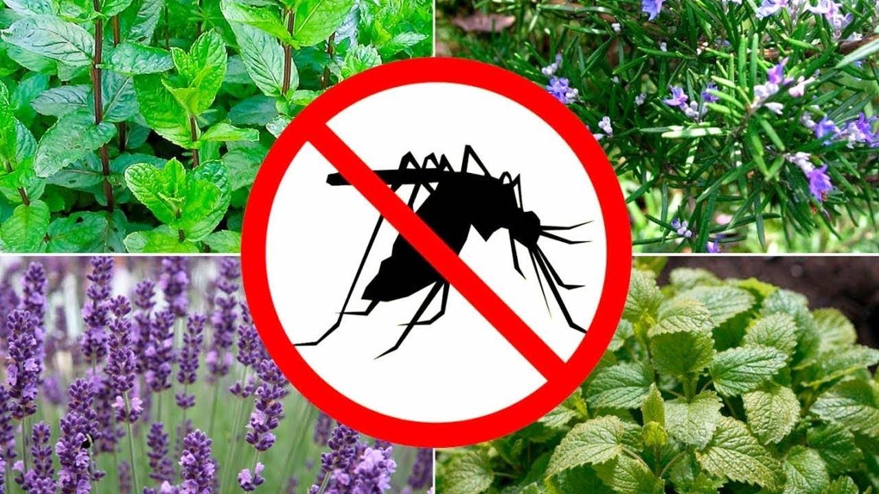 10 растений на вашей даче, которые отпугнут комаров