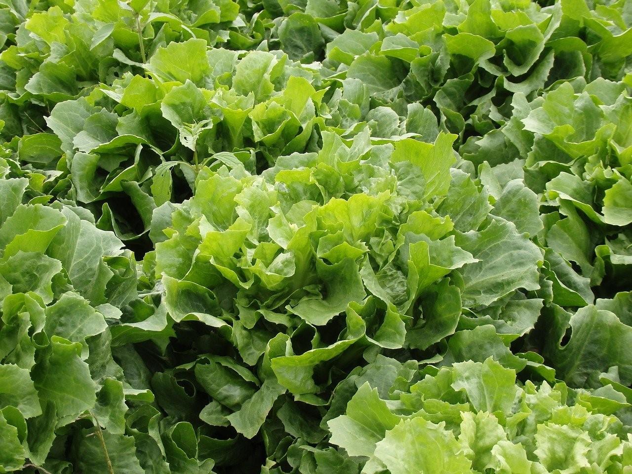 Эндивий (Цикорий салатный)