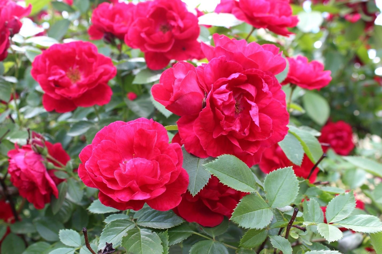 Дикая плетистая роза
