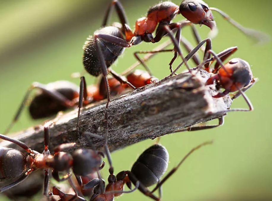 бороться с муравьями