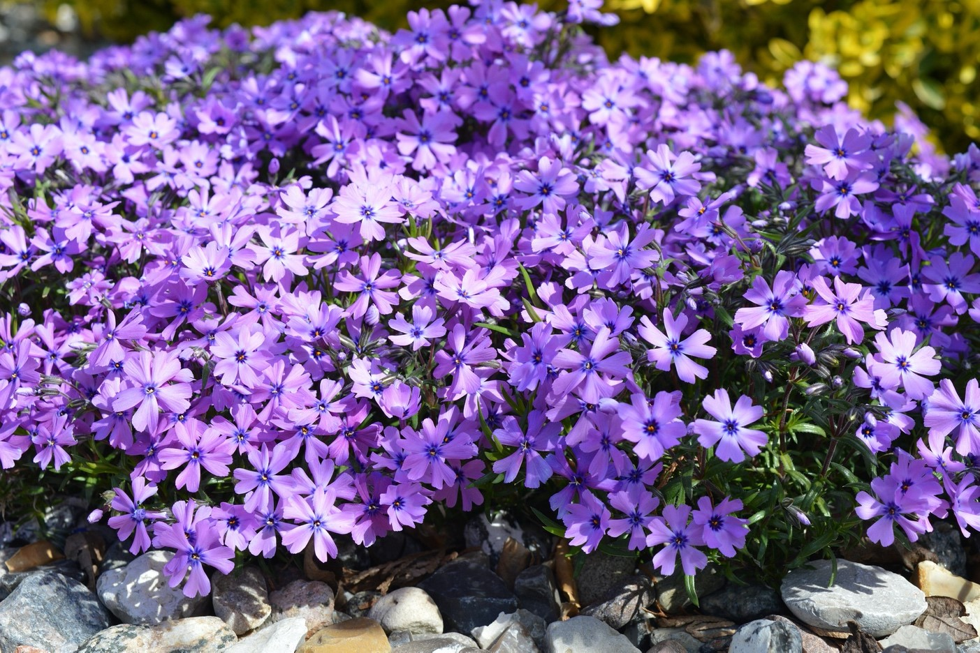 Множество однолетних цветов отлично зимуют