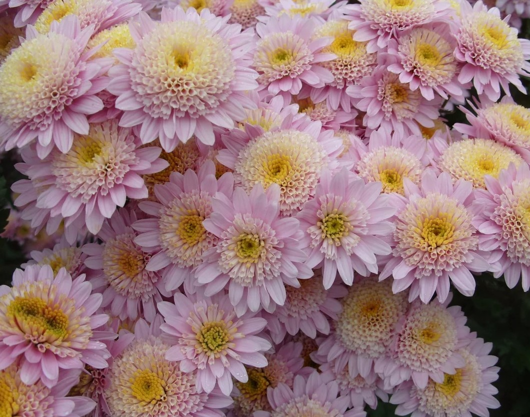 Хризантема, многолетняя