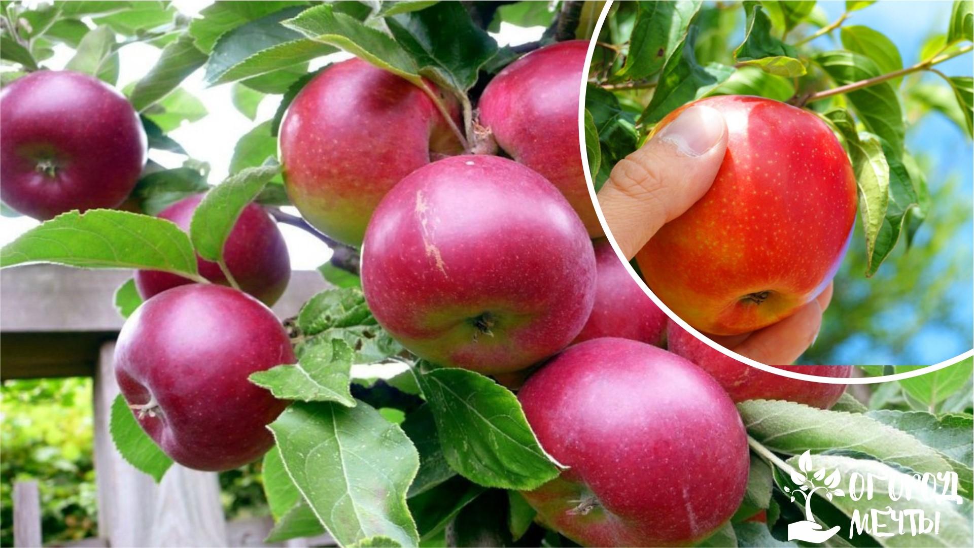 Съём осенних сортов яблок