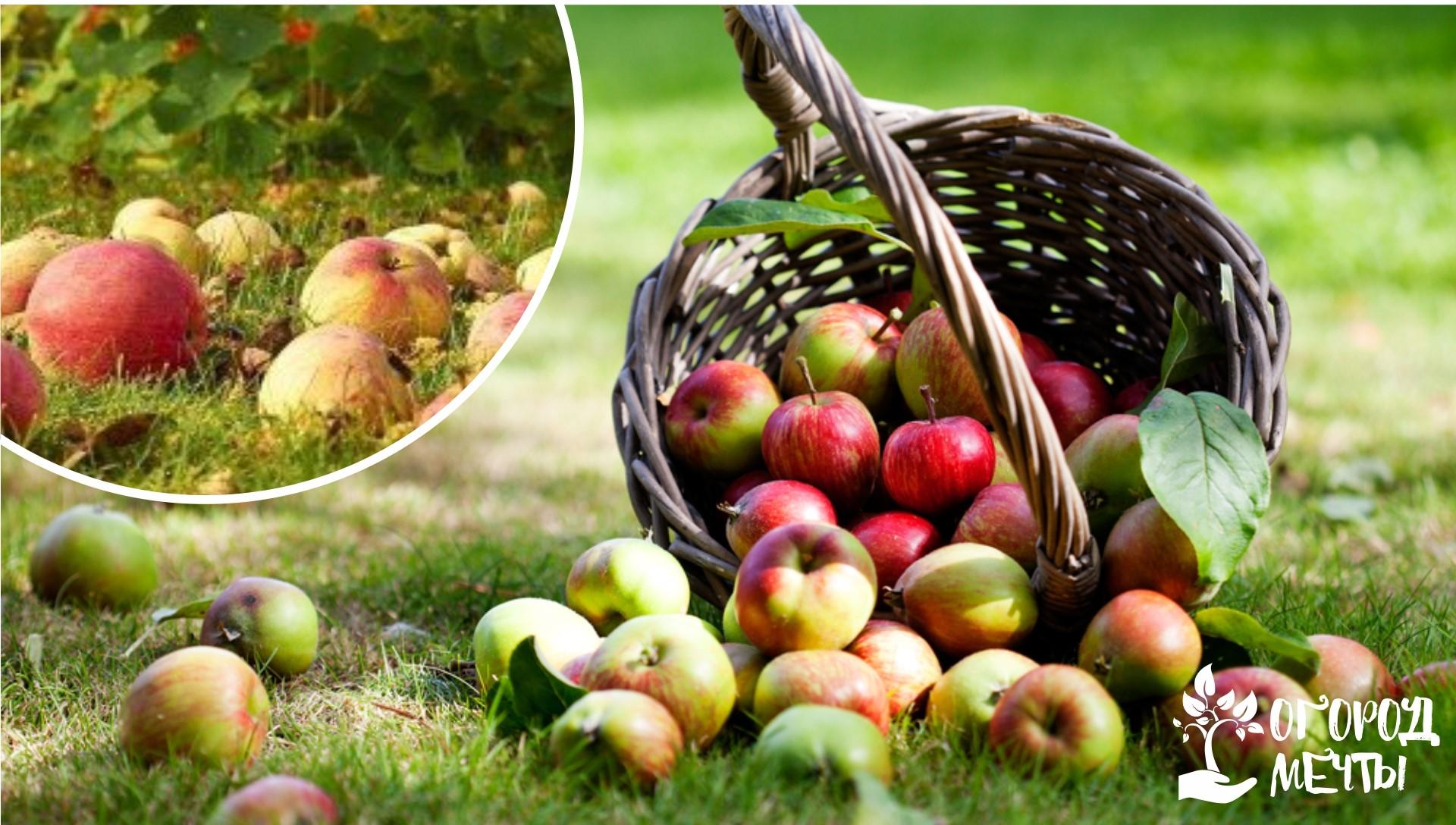 Сбор фруктовой падалицы