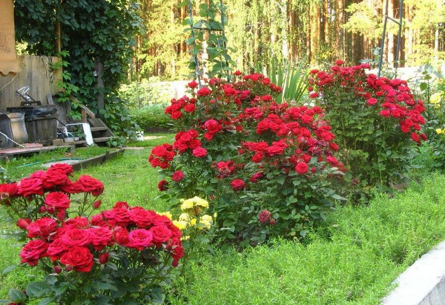 Клумбы и цветники для роз