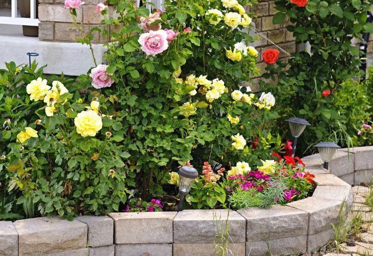 Кусты розы