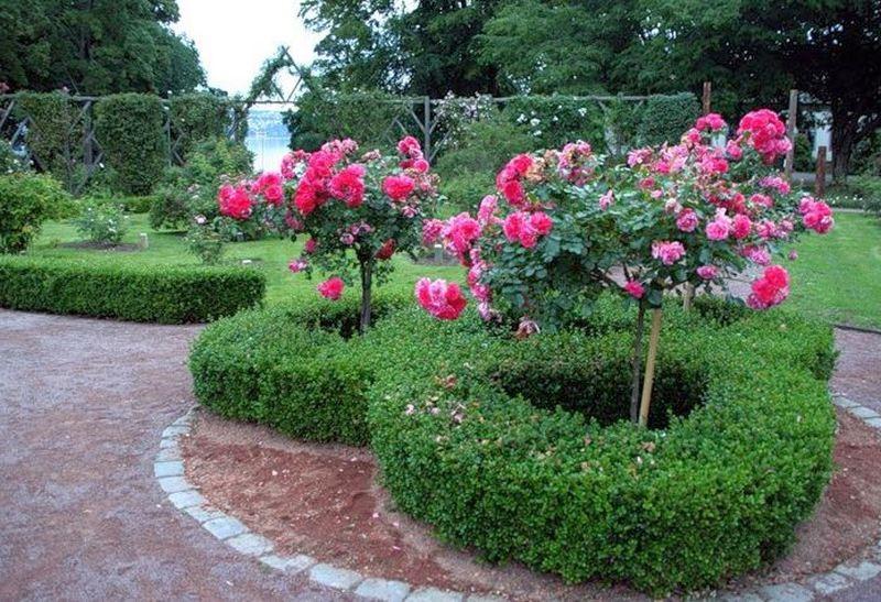 плетущиеся розы высаживают в галереи