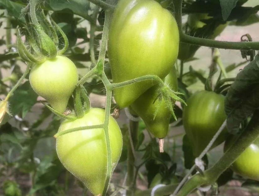 томаты в период плодоношения