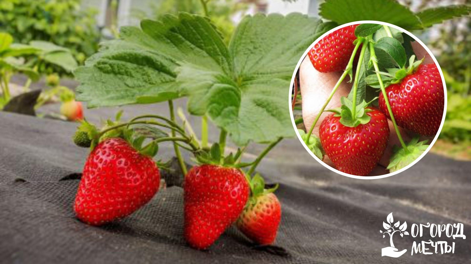 Мульчирование клубники и ягодников