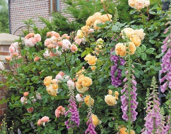Наперстянка — только с высокими розами