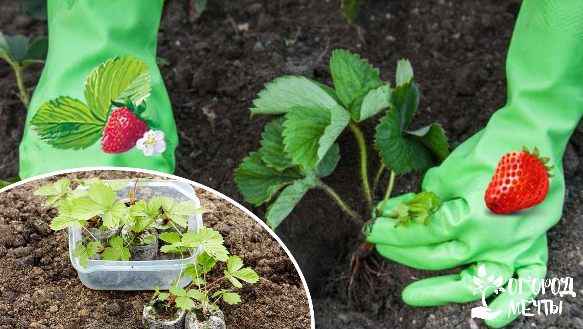 Высаживание рассады клубники и земляники в грунт