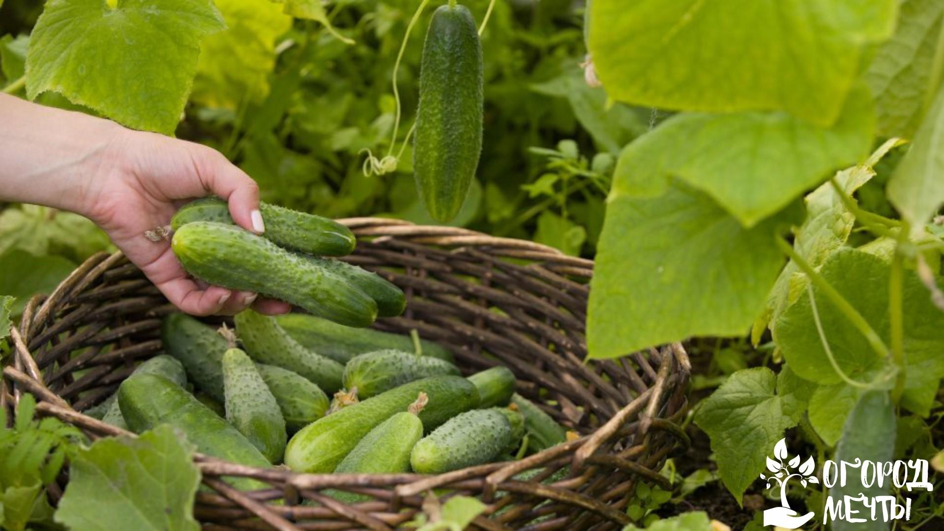 Сбор урожая на открытом грунте