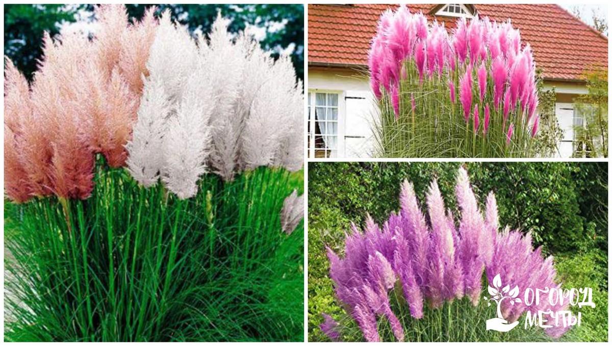 Декоративная высокая трава