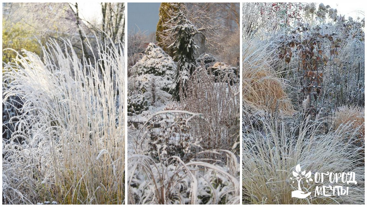 Декоративные травы осенью и зимой