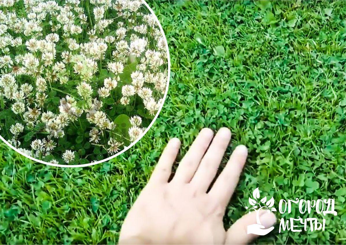 Клеверный газон растет даже в бедной почве