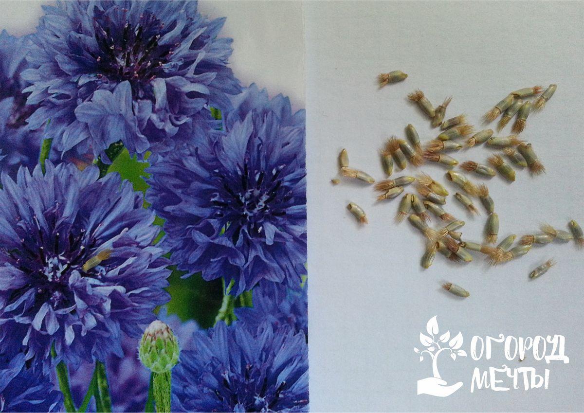 Выращивание василька в открытом грунте и горшках