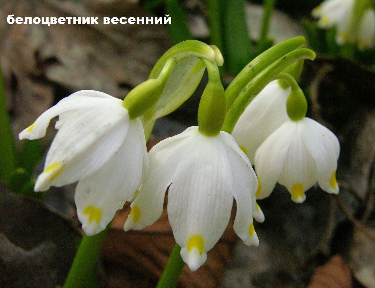 белоцветники