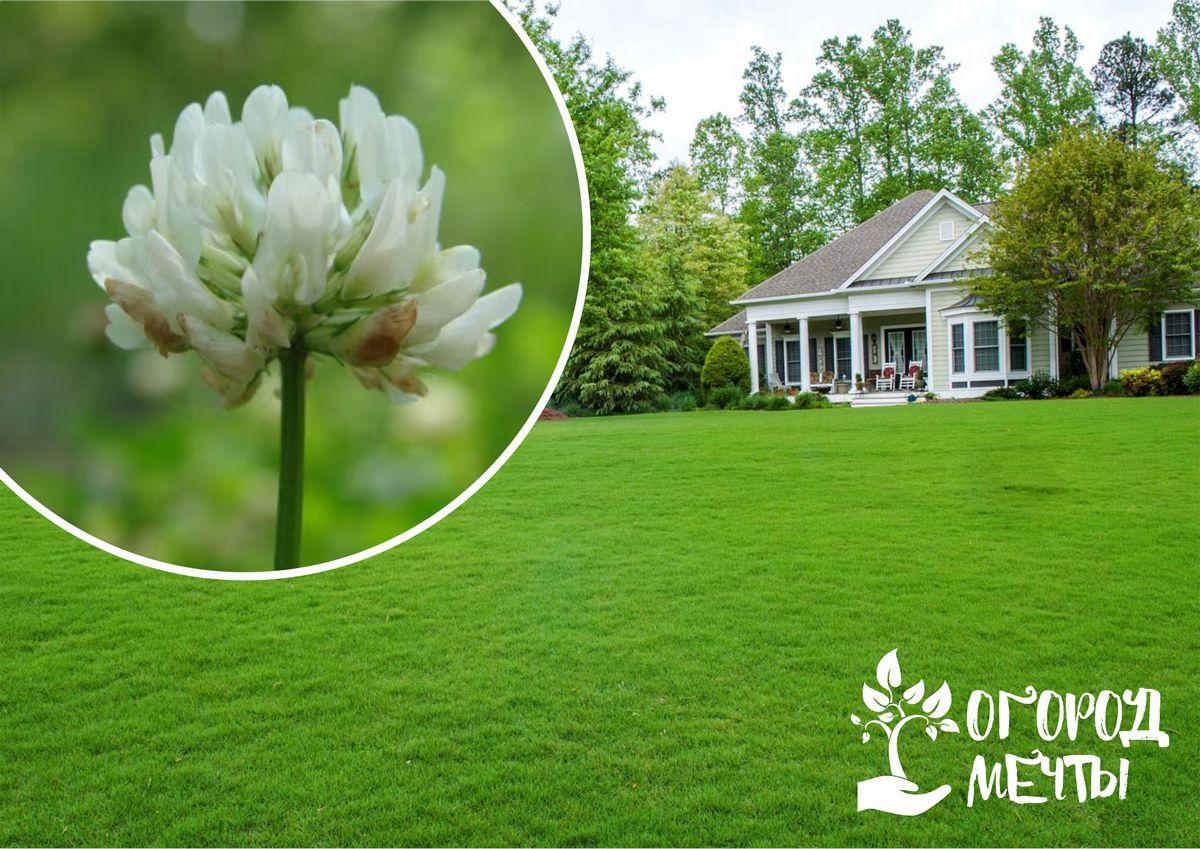 10 причин посеять газон из клевера