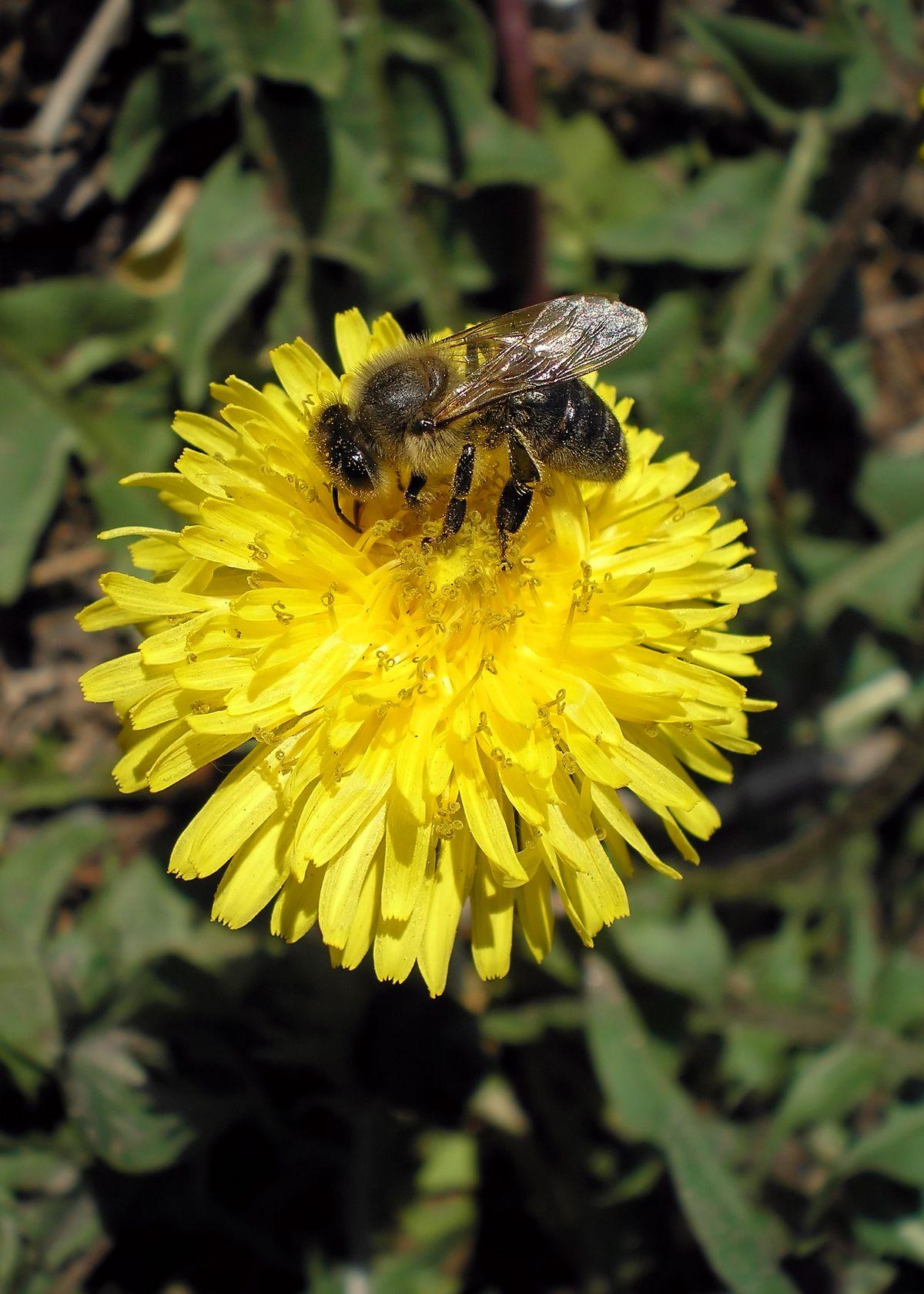 какие медоносные цветы посадить для пчел