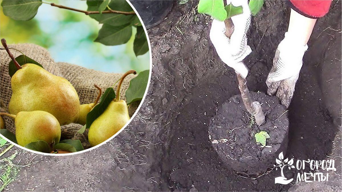 Преимущества и недостатки осенней посадки груши