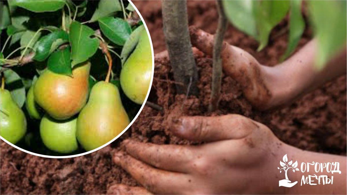 Выбор участка для выращивания груши