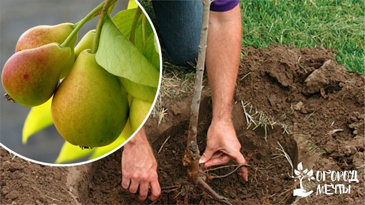 Процесс посадки груши