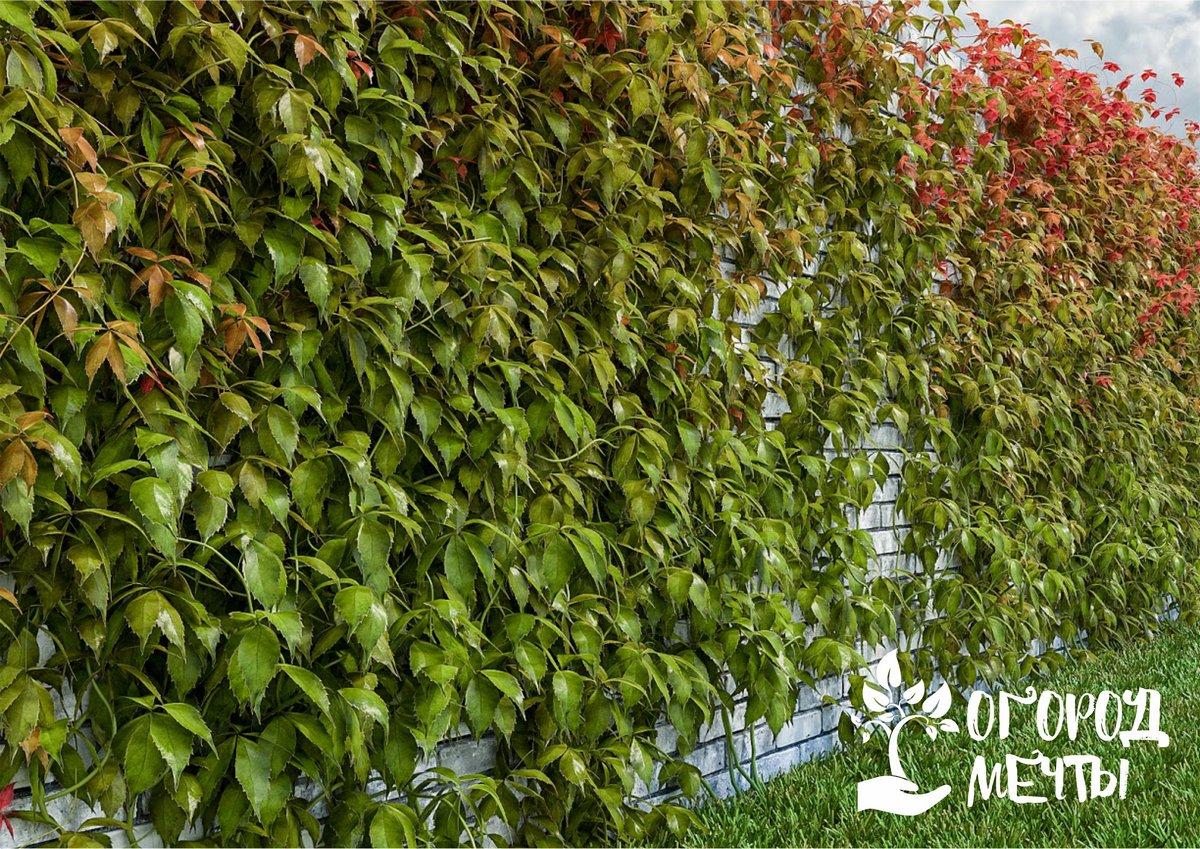 Как ухаживать за лианой – диким виноградом