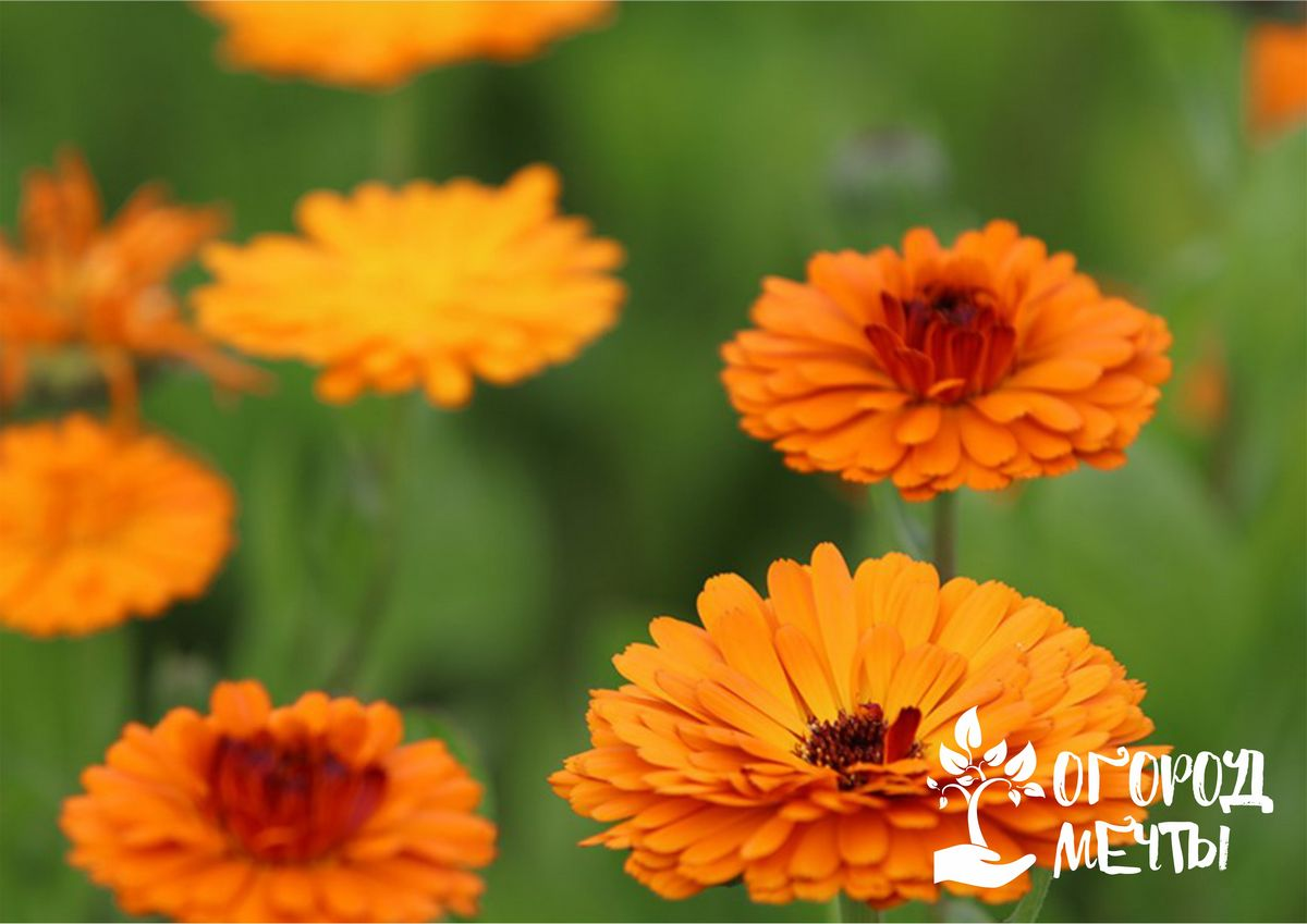 1. Calendula officinalis