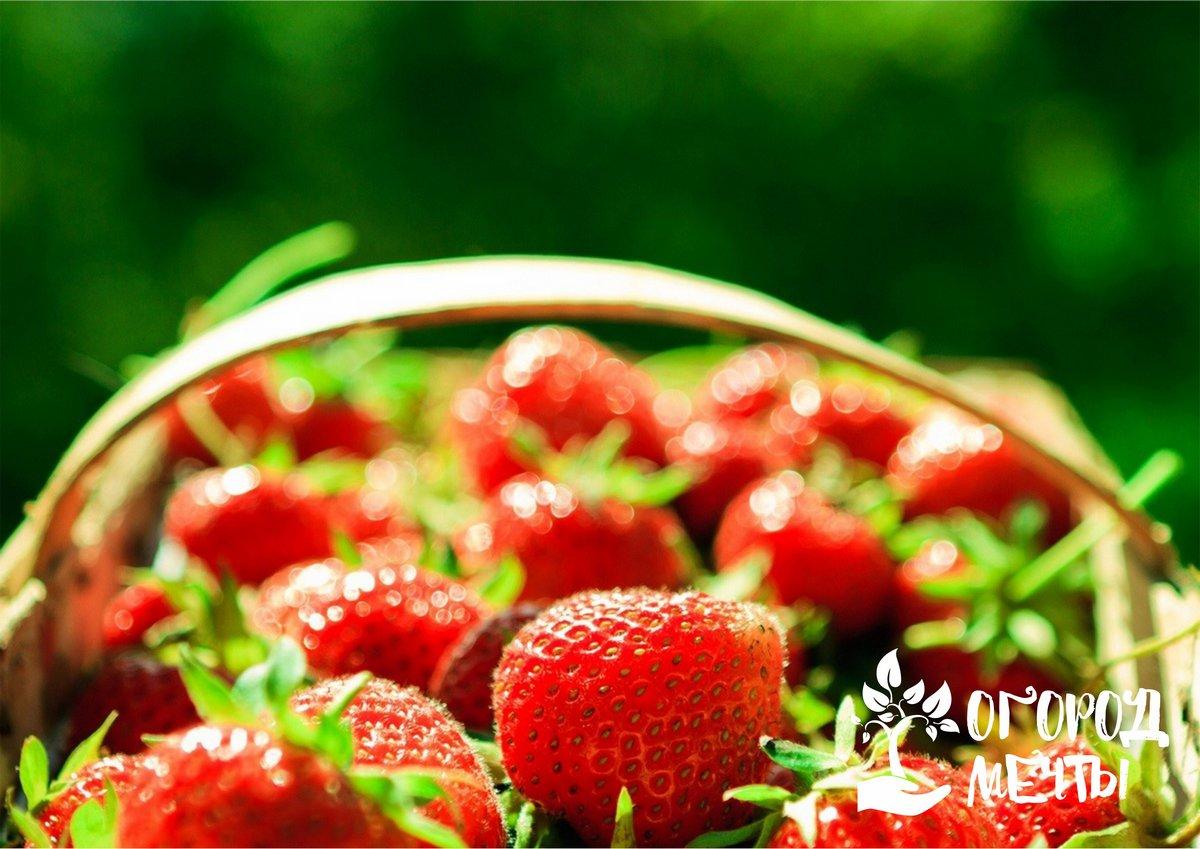 Как подкормить клубнику для большого урожая
