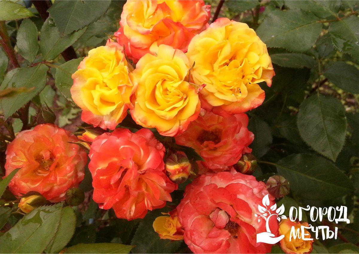 Топ-5 золотых правил для красивого цветения роз