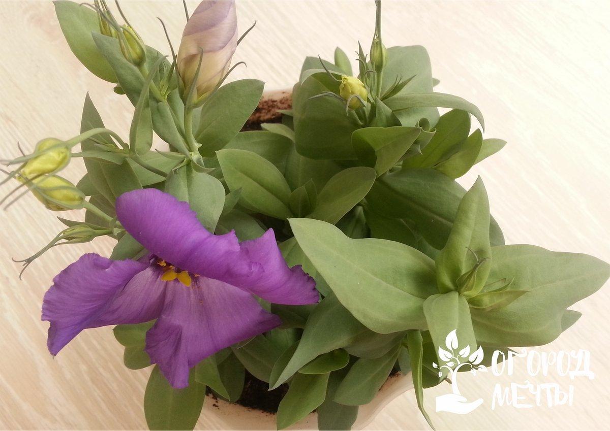 Как вырастить лизиантус из семян