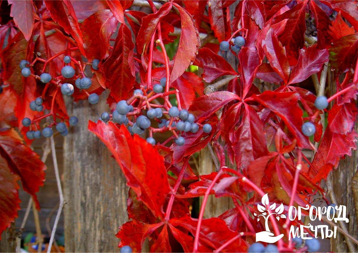 вы посадили дикий виноград на открытой местности, обязательно сделайте опору