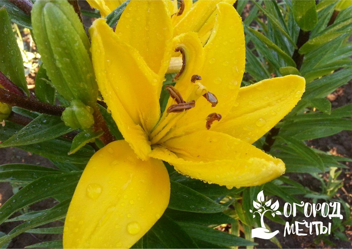 Где и когда сажать лилии