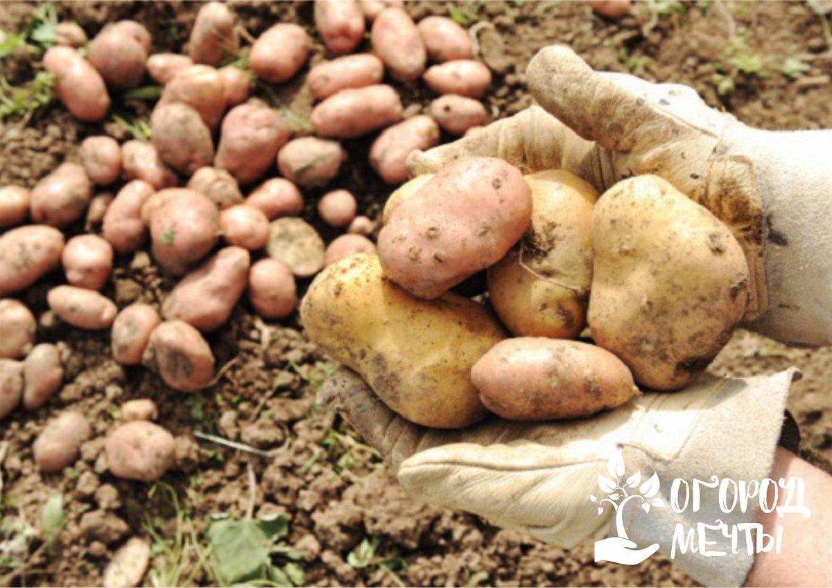 Собранные корнеплоды в виде картофеля