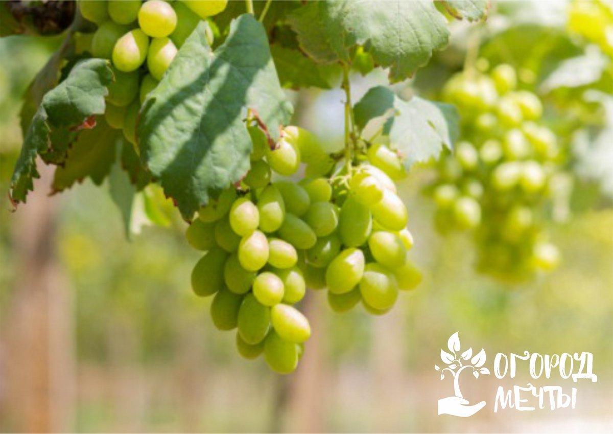 Что необходимо винограду осенью?