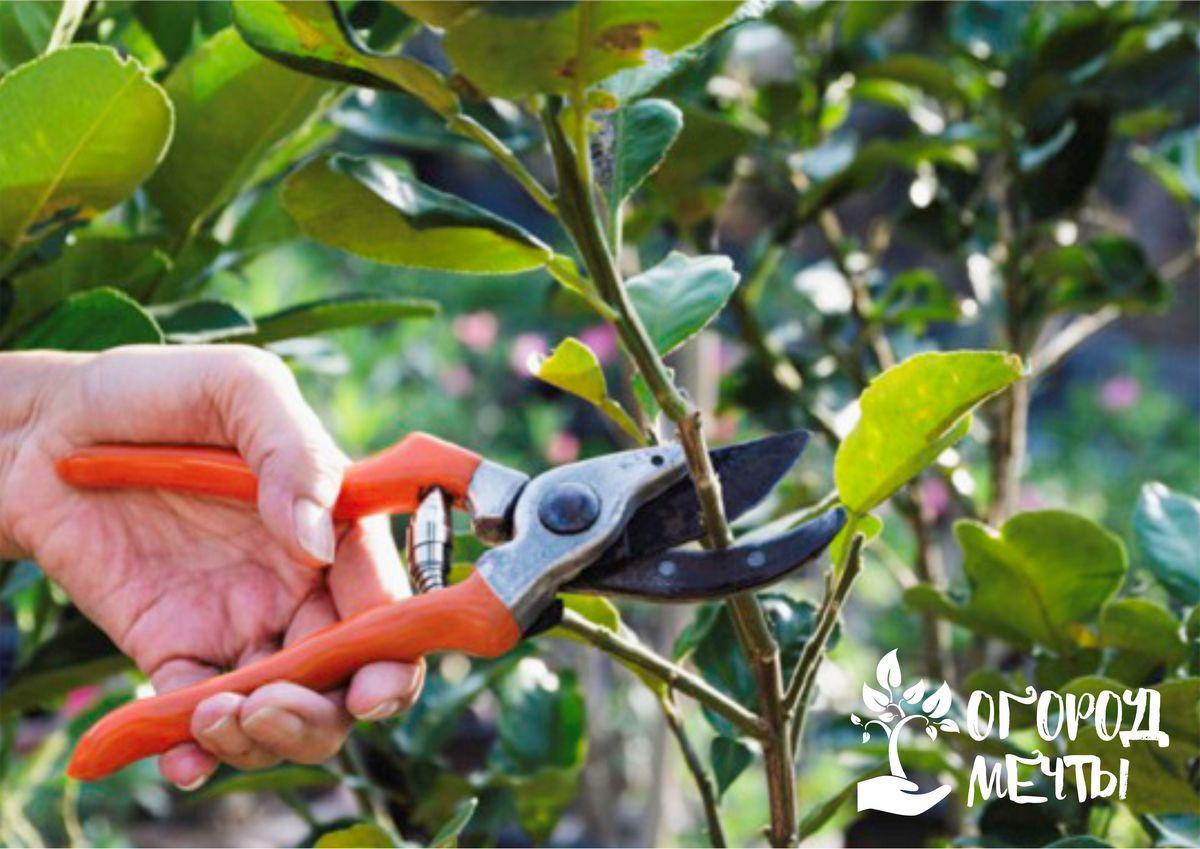 12. Все срезанные ветви сжигают после обрезки, чтобы предотвратить возможность заражения культур садовыми вредителями