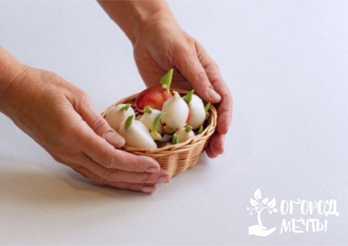 Способы посадки тюльпанов
