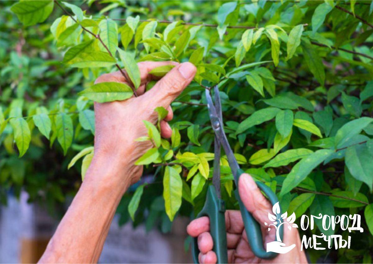 плодовым и ягодным культурам необходима осенняя обрезка плодовых деревьев и кустарников