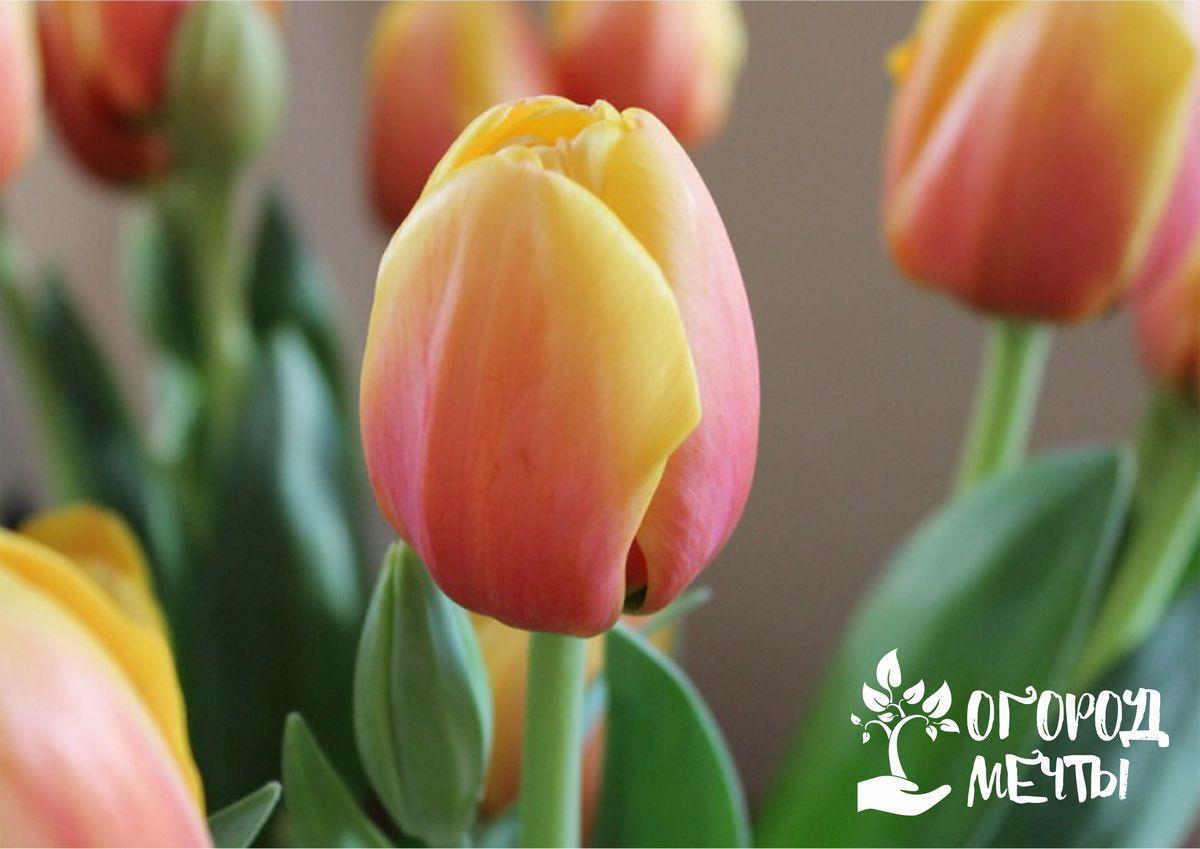 Хранение тюльпанов