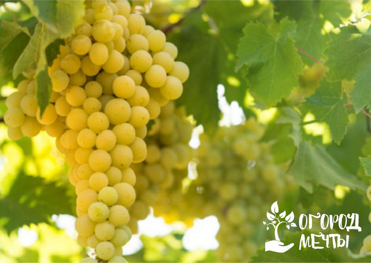 следует подкормить виноград жидким натуральным удобрением
