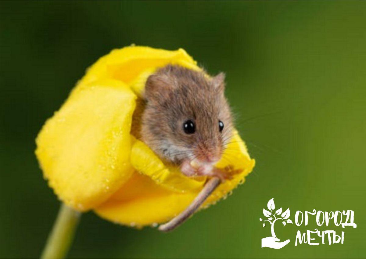 Как защитить тюльпаны от мышей