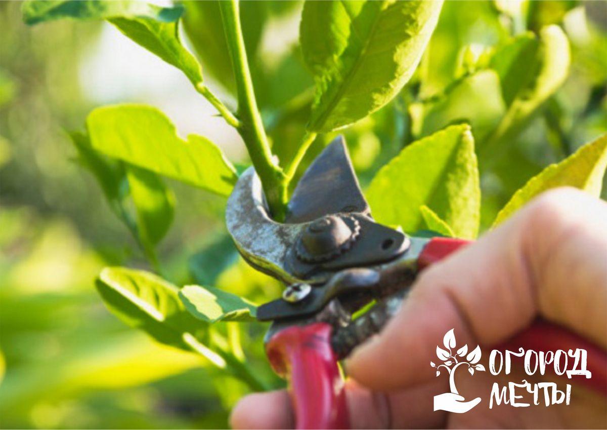 Садовым варом можно обрабатывать и поврежденную зайцами кору