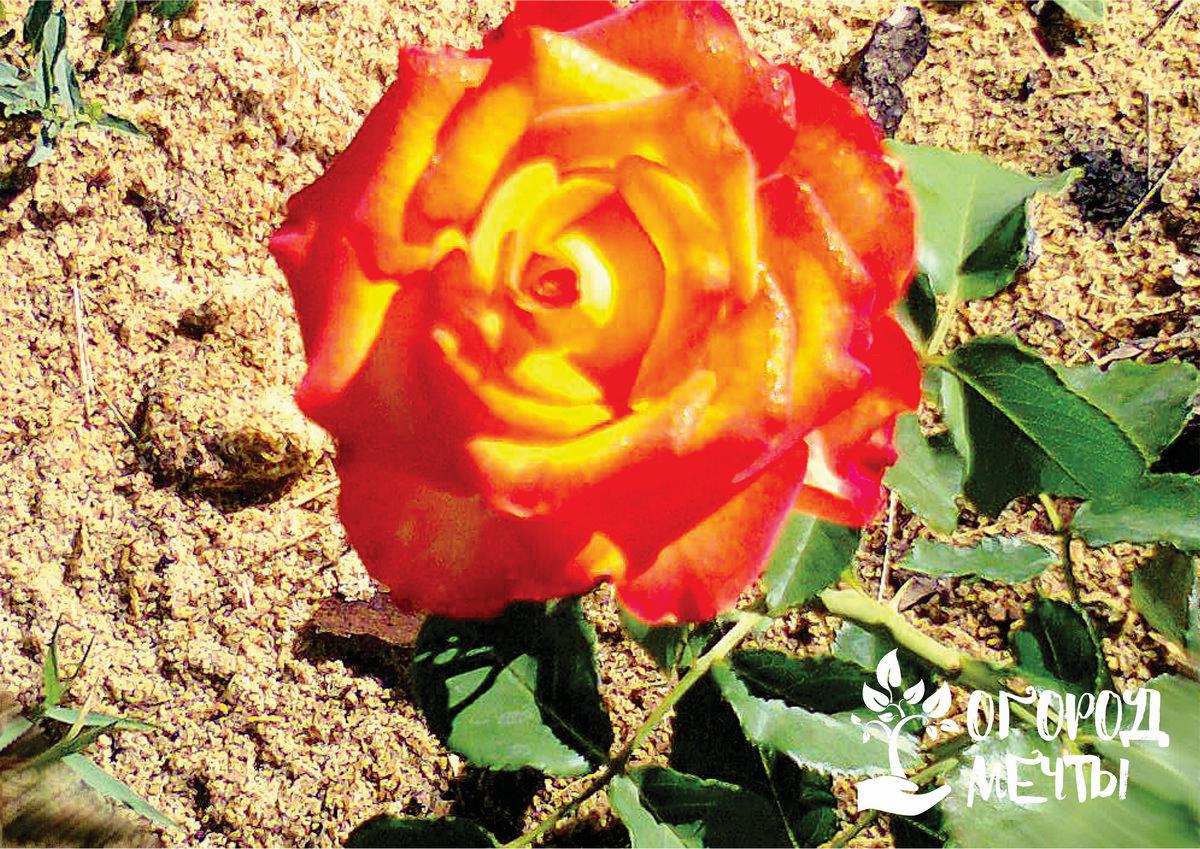 Всенародная любимица - роза
