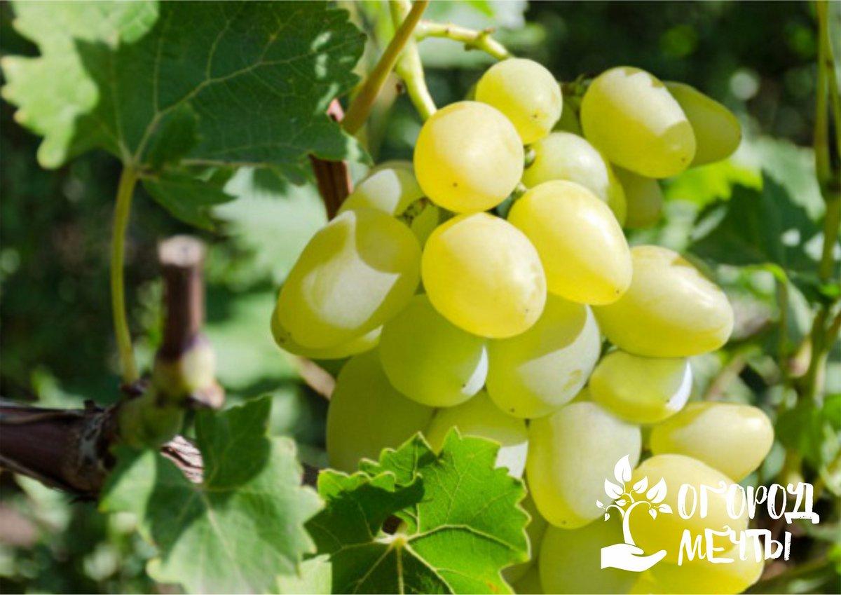 Нехватка фосфора у винограда проявляется в виде слабых гроздьев
