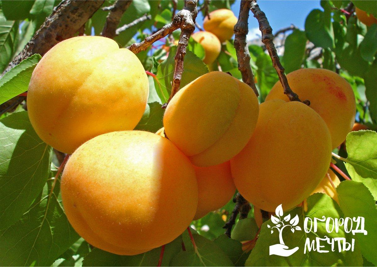 Самые морозостойкие сорта абрикосов