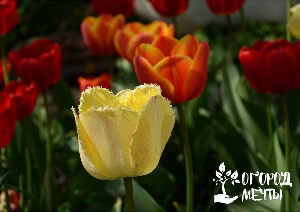 Тюльпаны – яркие вестники весны