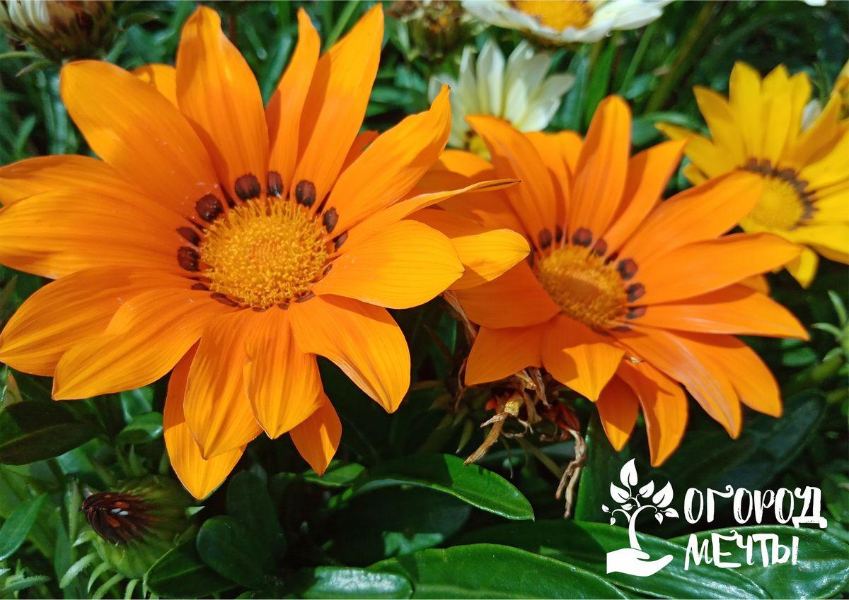 Газания – цветущее солнце в вашем саду