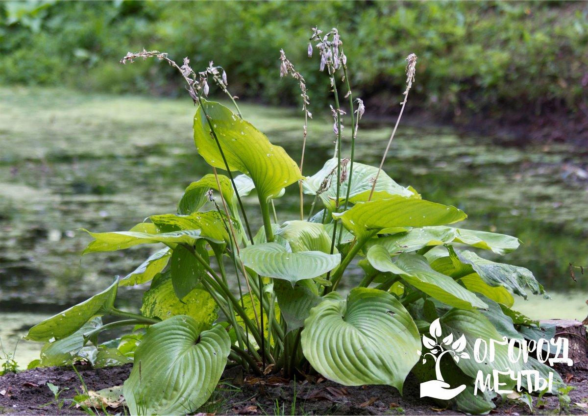Хоста – лучшее растение для тенистого сада